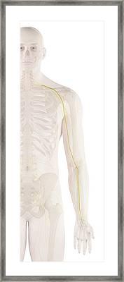 Human Arm Nerves Framed Print by Sciepro