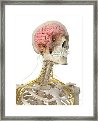 Human Brain And Nerves Framed Print by Sciepro