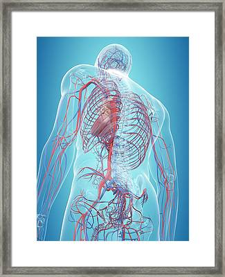 Human Cardiovascular System Framed Print by Sciepro