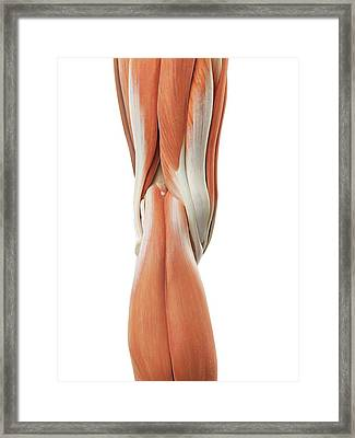 Human Knee Muscles Framed Print