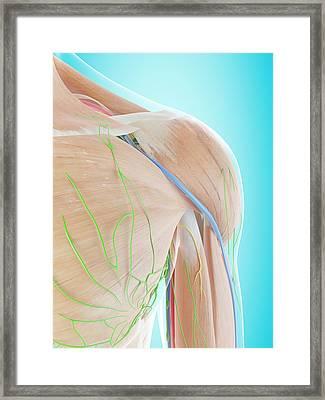 Human Shoulder Anatomy Framed Print by Sciepro