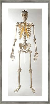 Human Skeleton Framed Print by Dorling Kindersley/uig