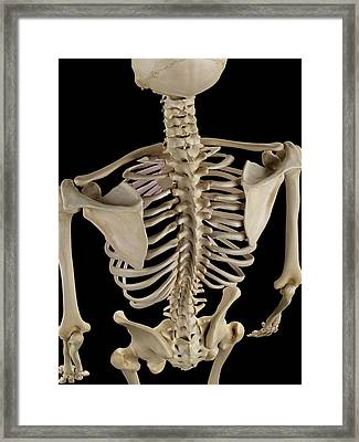 Human Spine Framed Print by Sciepro