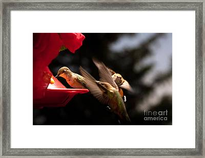 Hummingbirds At Feeder Framed Print by Cindy Singleton
