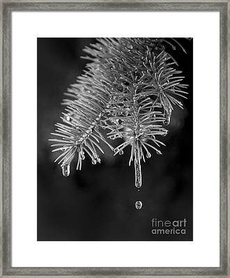 Ice Cicles Melting On A Pine Branch Framed Print