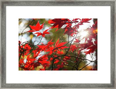 Japanese Maple In Autumn Color Framed Print by Peter Adams