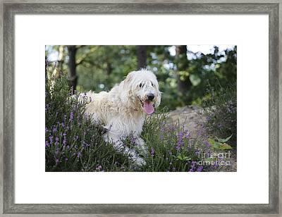 Labradoodle Dog Framed Print by John Daniels