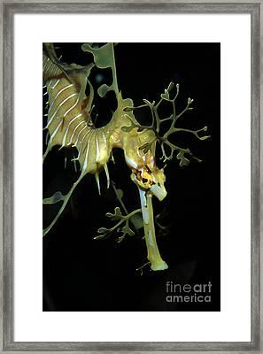 Leafy Seadragon Framed Print by Gregory G. Dimijian