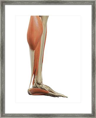 Leg And Foot Muscles Framed Print