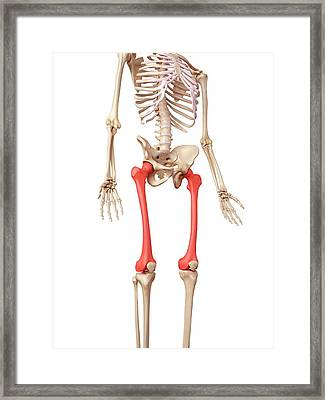 Leg Bones Framed Print by Sebastian Kaulitzki/science Photo Library