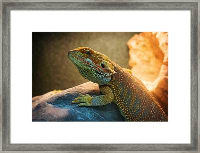 lizard Bearded Dragon Framed Print by Celestial Images