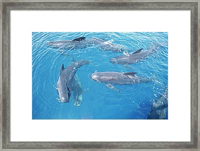 Long-finned Pilot Whales Framed Print by Christopher Swann/science Photo Library