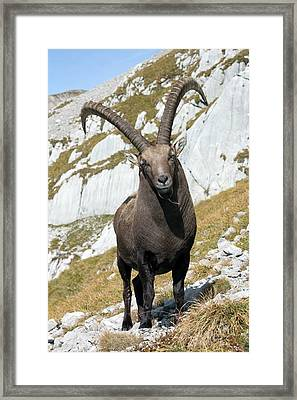 Male Alpine Ibex Framed Print