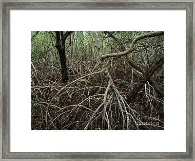 Mangrove Roots Framed Print