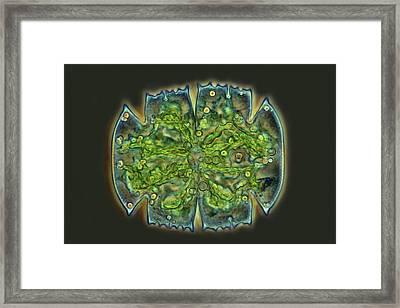 Micrasterias Desmid Framed Print by Marek Mis