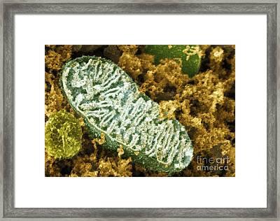 Mitochondrion, Sem Framed Print by Dr. David Furness, Keele University