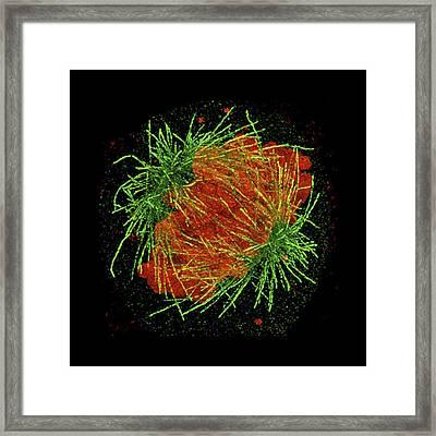 Mitosis Framed Print by Dr Lothar Schermelleh