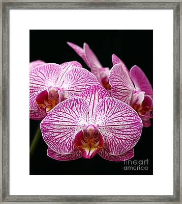 Moth Orchid Framed Print by James Brunker