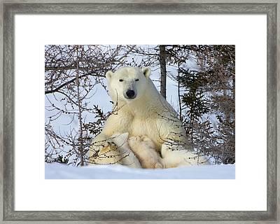 Mother Polar Bear With Three Cubs Framed Print
