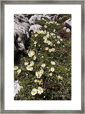 Mountain Avens Dryas Octopetala Framed Print