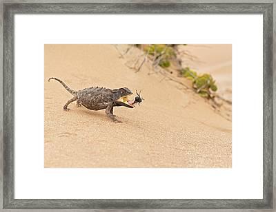 Namaqua Chameleon Catching Prey Framed Print by Tony Camacho