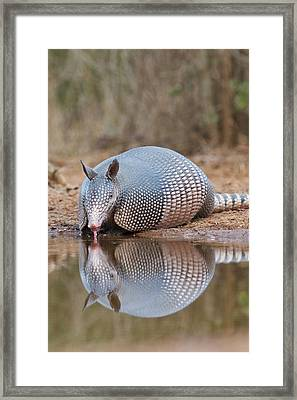 Nine-banded Armadillo (dasypus Framed Print by Larry Ditto