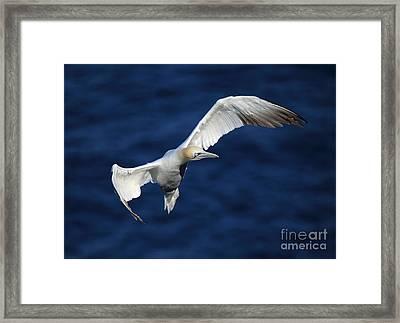 Northern Gannet In Flight Framed Print by Maria Gaellman
