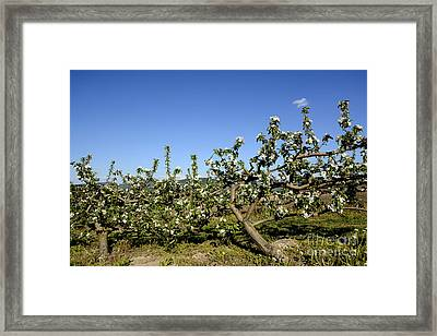 Orchard  Blooming Apple Trees. Framed Print