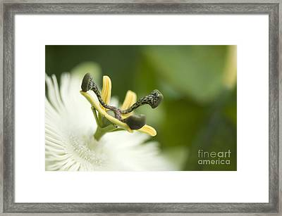 Passion Flower Passiflora Sp Framed Print by Maria Mosolova