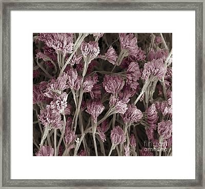 Penicillium Fungus, Sem Framed Print