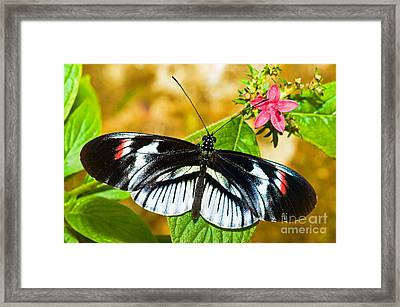 Piano Key Butterfly Framed Print by Millard H. Sharp