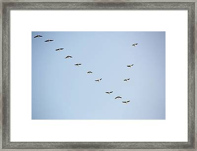 Pink Footed Geese (anser Brachyrhynchus) Framed Print