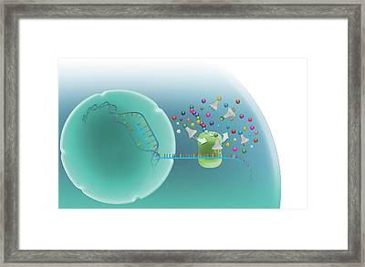 Protein Synthesis Framed Print