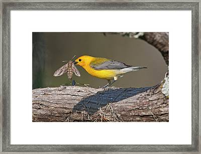 Prothonotary Warbler (prothonoteria Framed Print by Larry Ditto