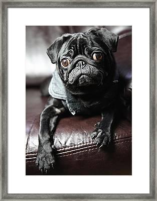 Pug Framed Print by Falko Follert