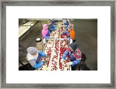 Radish Farming Framed Print