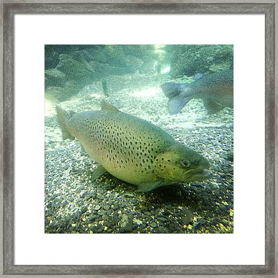 Rainbow Trout Framed Print by Les Cunliffe