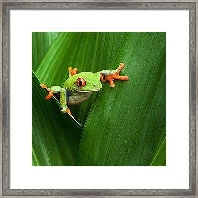 Red Eyed Tree Frog  Framed Print by Dirk Ercken
