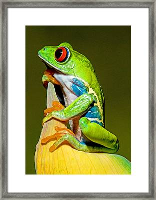 Red-eyed Treefrog Framed Print by Millard H Sharp