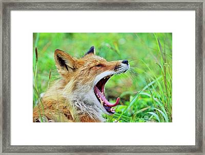Red Fox (vulpes Vulpes Framed Print by Martin Zwick