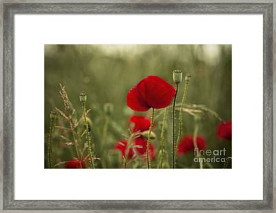 Red Poppy Flowers Framed Print by Nailia Schwarz