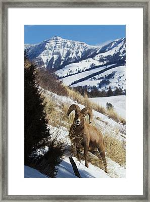 Rocky Mountain Bighorn Sheep Ram Framed Print