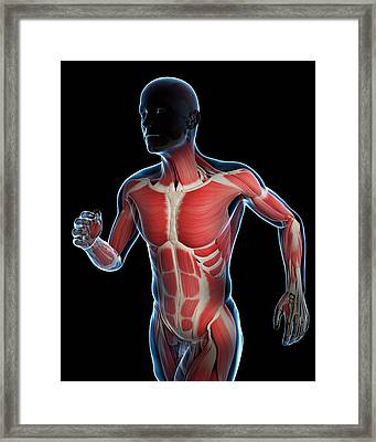 Runner Muscles Framed Print by Sciepro/science Photo Library