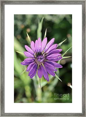 Framed Print featuring the photograph Salsify Flower by George Atsametakis