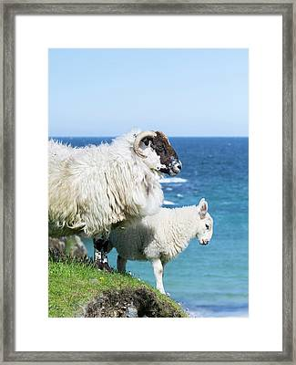 Scottish Blackface On The Isle Framed Print by Martin Zwick