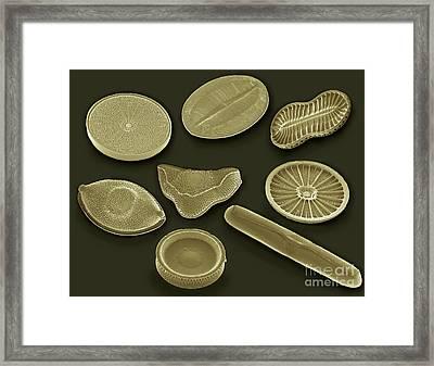 Selection Of Diatoms, Sem Framed Print