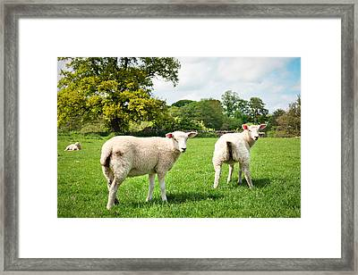 Sheep In Field Framed Print by Tom Gowanlock