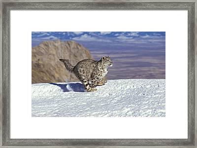 Snow Leopard Or Ounce Uncia Uncia Framed Print by Gerard Lacz