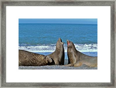 Southern Elephant Seal Female (cow Framed Print by Martin Zwick