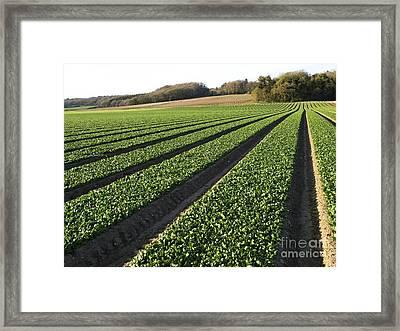 Spinach Crop Framed Print